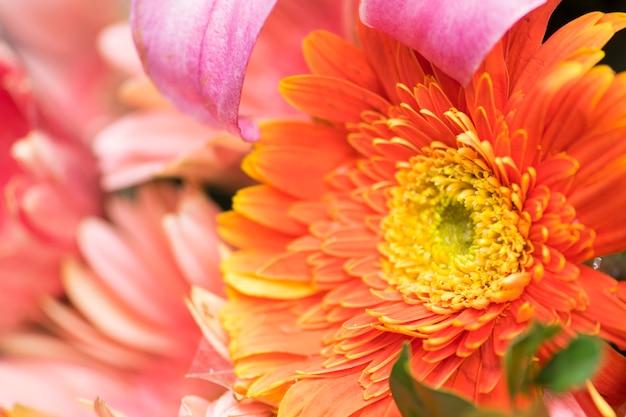 Piękna chryzantema kwitnie tło