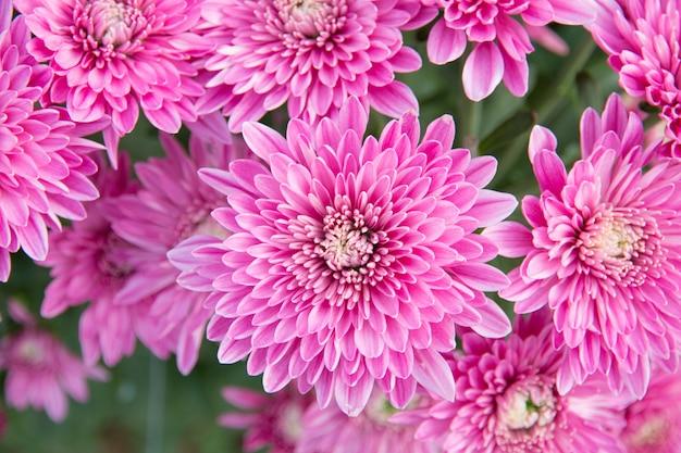 Piękna chryzantema kwitnie w ogrodzie.