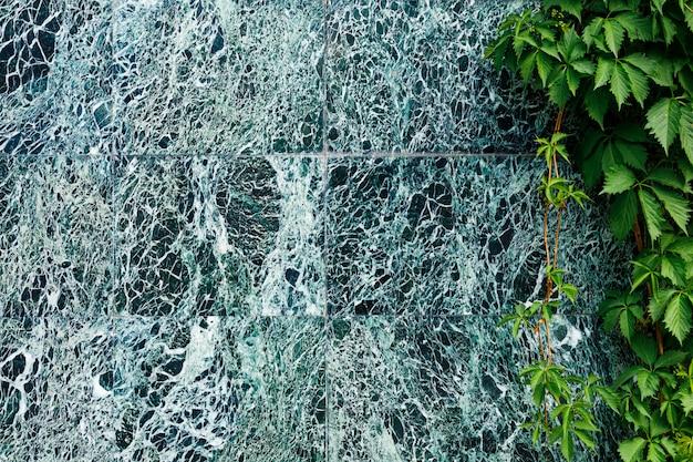 Piękna ciemnozielona marmurowa ściana z białymi żyłkami i wspinającymi się dzikimi winogronami.