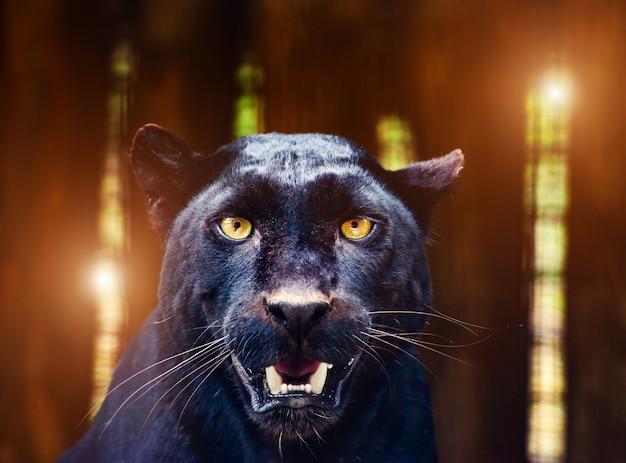 Piękna czarna pantera