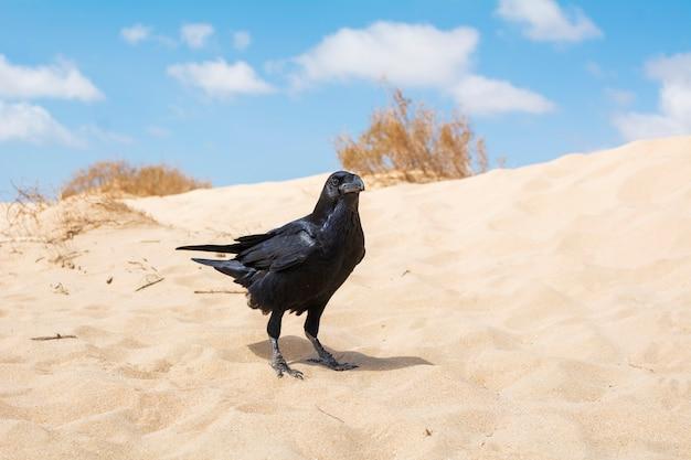 Piękna czarna wrona siedząca na pustynnym piasku.