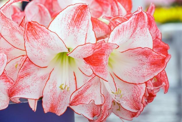 Piękna czerwień z białymi kwiatami amarylis w bukiecie (makro).
