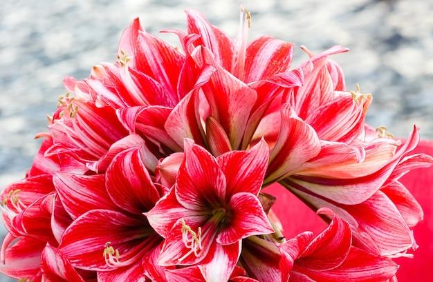 Piękna czerwień z białymi kwiatami makro amarylis na wiosnę.