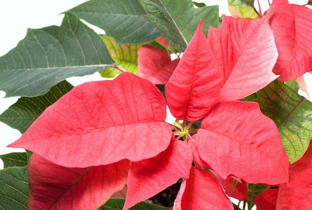 Piękna czerwona poinsecja na białym tle. ta czerwona roślina - symbol bożego narodzenia.