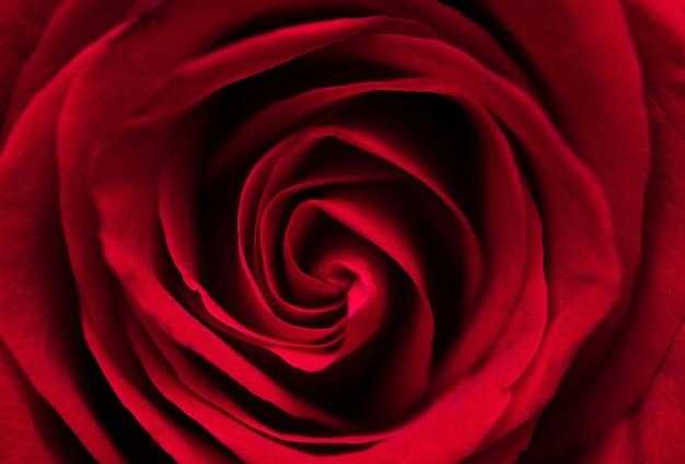 Piękna czerwona róża makro