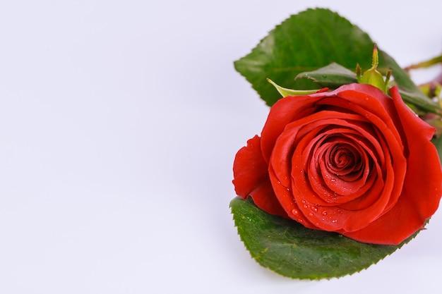 Piękna czerwona róża na białym tle. walentynki. skopiuj miejsce.