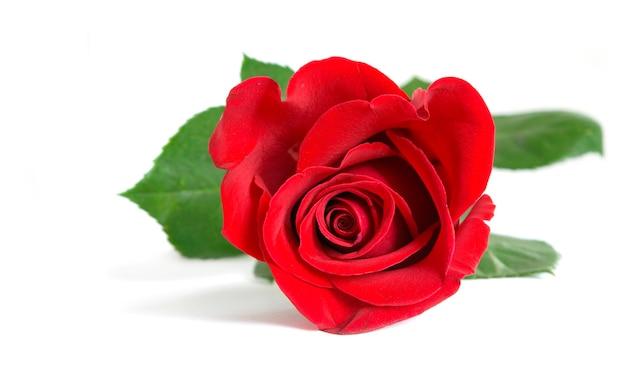 Piękna czerwona róża na białym tle