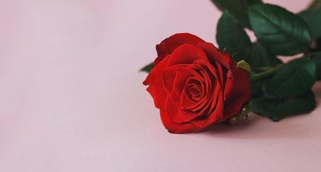 Piękna czerwona róża na różowym tle