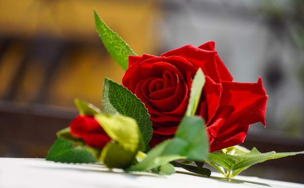 Piękna czerwona róża z tłem bokeh
