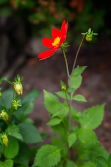 Piękna czerwona stokrotka w ogródzie.