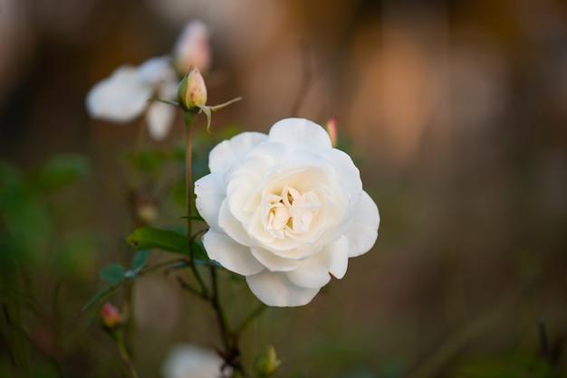 Piękna delikatna biała róża w ogrodzie, piękne białe róże ogrodowe w mieście islamabad, pakistan.