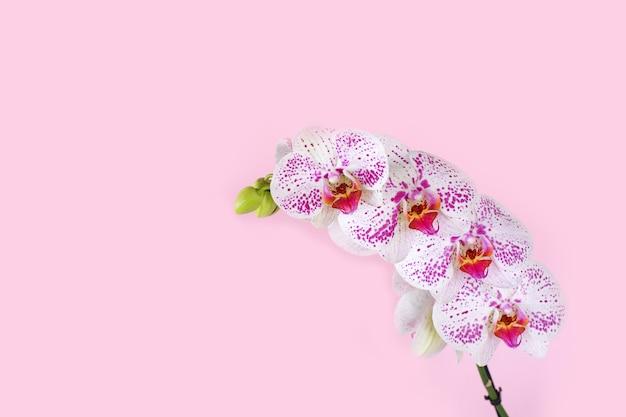 Piękna, delikatna różowa orchidea, afrodyta phalaenopsis