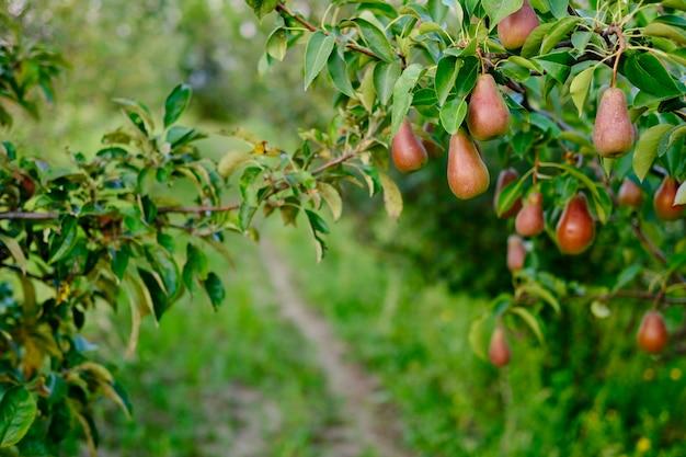 Piękna dojrzała kiść z dużą ilością gruszki rośnie na drzewie z zielonymi liśćmi na zielonym rozmytym