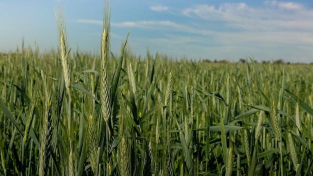 Piękna dojrzewająca uprawa zielonego krajobrazu pszenicy na wiejskich terenach hiszpania uprawa kłosów pszenicy