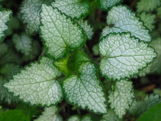 Piękna dwukolorowa zielona i biała roślina. liście lamium beacon silver w zbliżeniu ogrodowym. bush of lamium