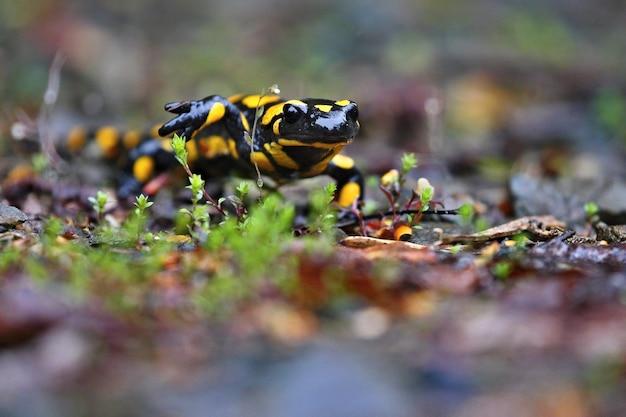 Piękna dzika salamandra w naturalnym środowisku