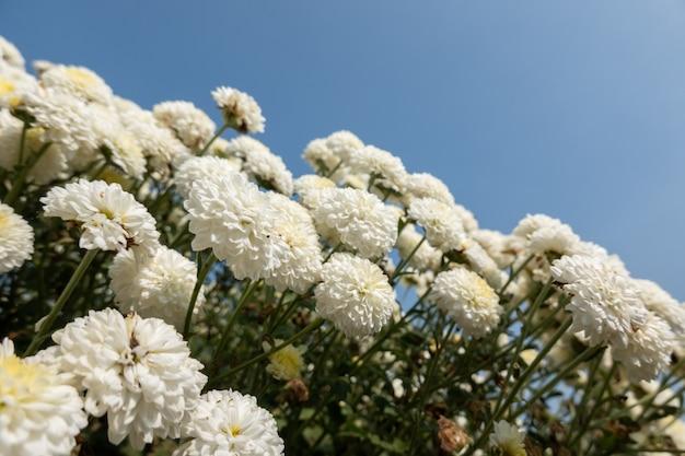 Piękna farma białych chryzantem w tongluo township, hrabstwo miaoli, tajwan