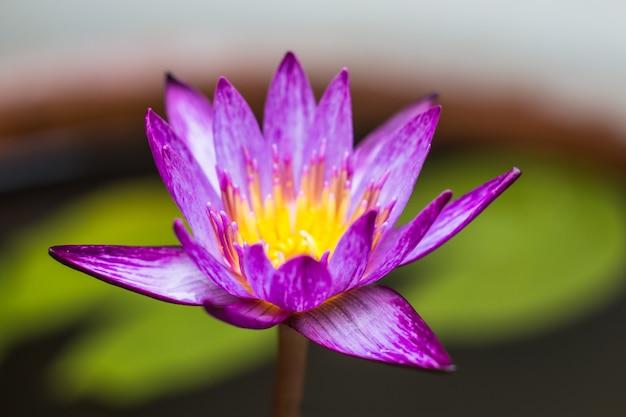 Piękna fioletowa lilia wodna lub lotos na wodzie