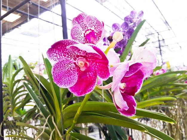 Piękna fiołkowa orchidea w ogródzie