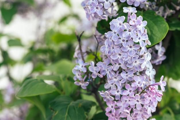 Piękna gałąź bzu w zielonych liściach. selektywna ostrość. zamknąć widok. niewyraźne tło z miejsca na kopię