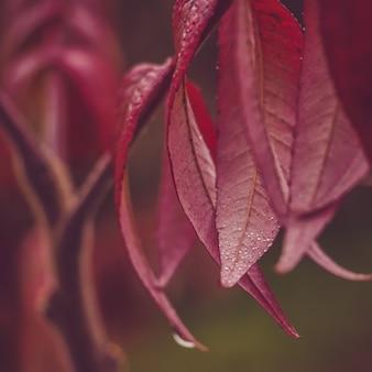 Piękna gałąź drzewo z purpurowymi liśćmi