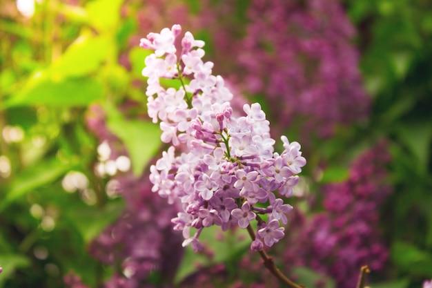 Piękna gałąź kwitnącego bzu z bliska