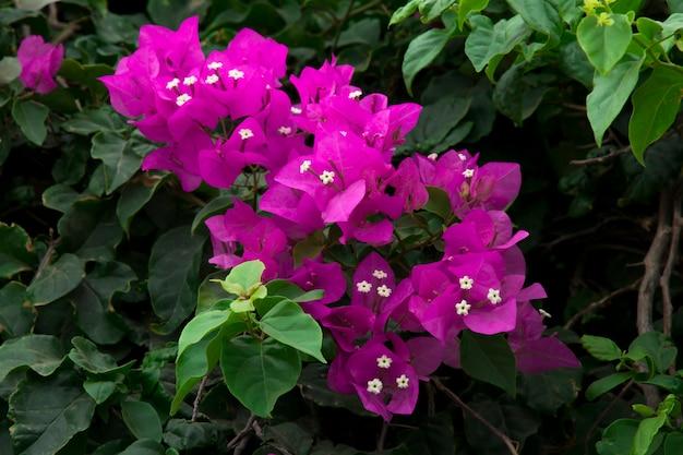 Piękna gałąź kwitnącej bugenwilli magenta bougainvillea w śródziemnomorskim kurorcie