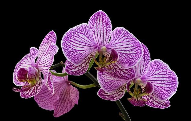 Piękna gałązka fioletowych kwiatów orchidei na białym na czarnym tle.