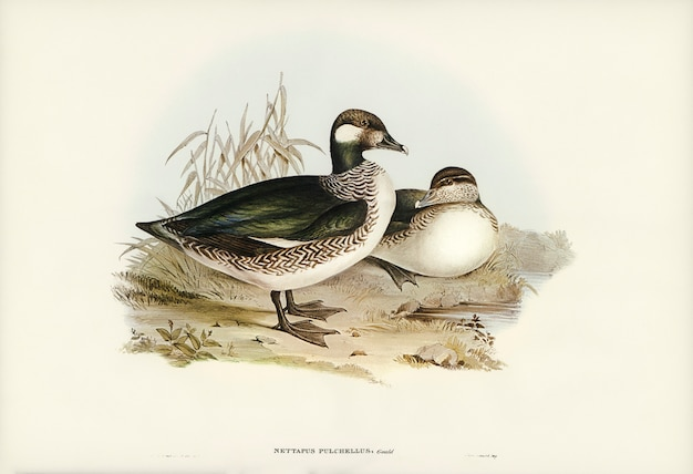 Piękna gąska (nettapus pulchellus) ilustrowana przez elizabeth gould