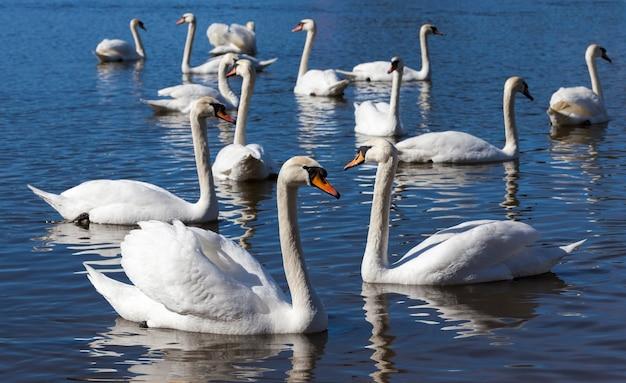 Piękna grupa ptactwa wodnego łabędź na jeziorze wiosną