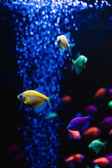 Piękna grupa ryb morskich. podwodne kolorowe życie. jaskrawy żółty akwarium ryba trójskładnikowy zbliżenie. selektywna ostrość