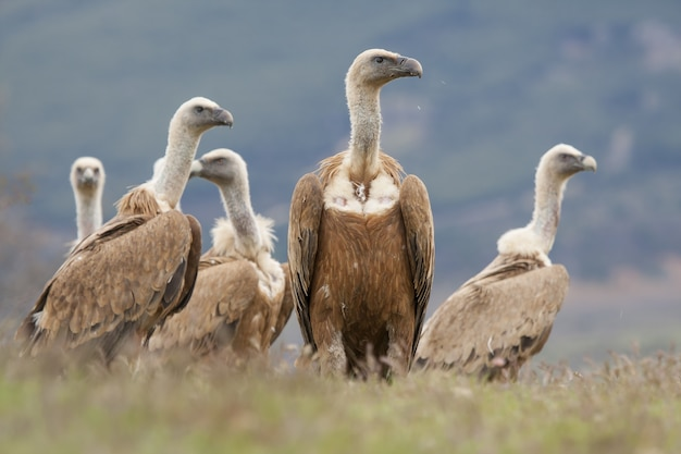 Piękna grupa vautour fauve