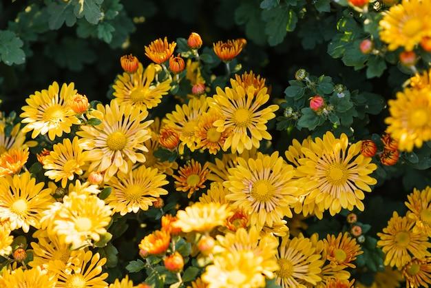 Piękna jaskrawa żółta chryzantema kwitnie w ogródzie