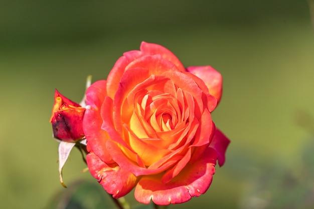 Piękna jasnoczerwona róża z kroplami deszczu w ogrodzie
