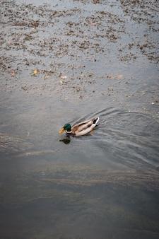 Piękna kaczka krzyżówka pływająca w jeziorze w parku
