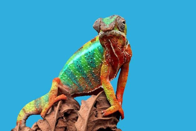 Piękna kameleon pantera kameleon pantera na suchym liściu z niebieskim tłem