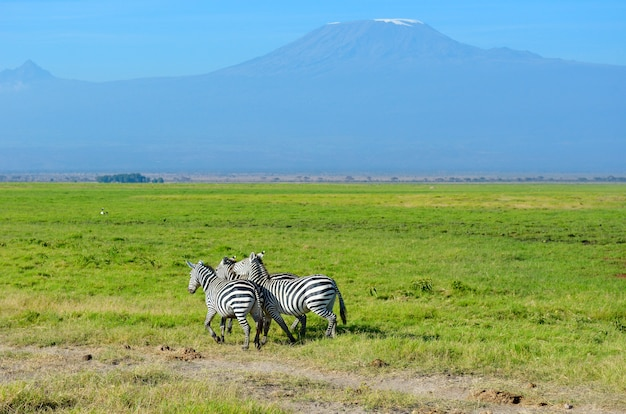 Piękna kilimanjaro góra i zebry, kenja, amboseli park narodowy, afryka