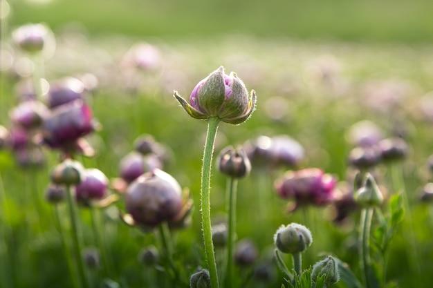 Piękna kolorowa łąka fioletowego jaskier