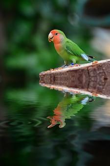 Piękna kolorowa papuga z odbiciem wody