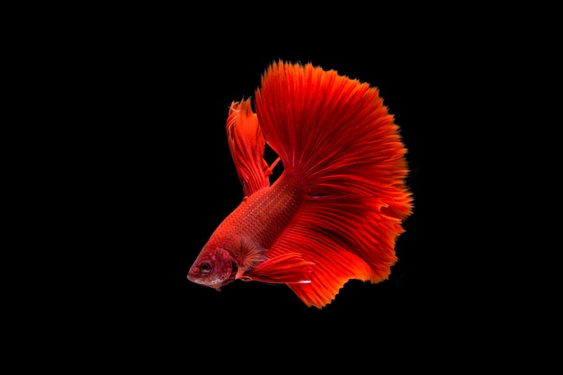 Piękna kolorowa ryba syjamska betta