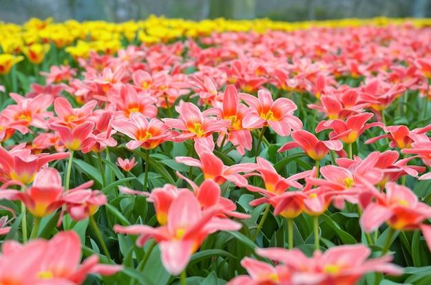 Piękna kolorowa wiosna kwitnie w parku w holandiach
