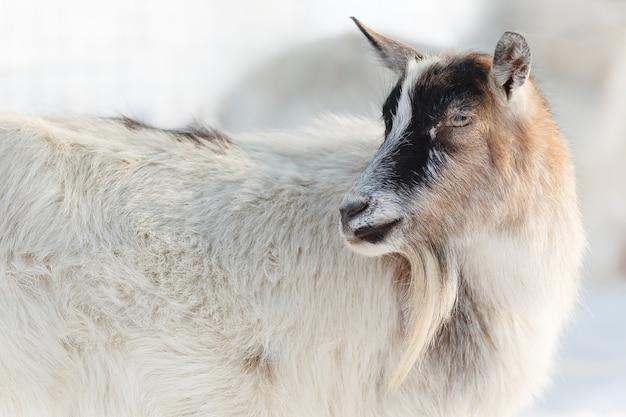 Piękna koza futrzana w zimowej scenie śnieżnej z długą brodą