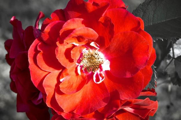 Piękna kreatywna tapeta z różami ogrodowymi