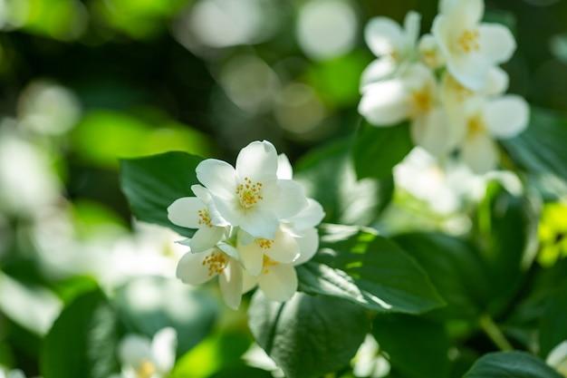 Piękna kwitnąca gałąź jaśminu z białymi kwiatami w słońcu w słoneczny letni dzień.
