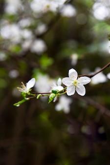Piękna kwitnąca japońska wiśnia - sakura. tło z kwiatami na wiosenny dzień.