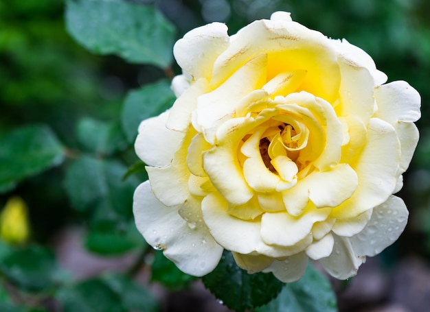 Piękna kwitnąca żółta róża i jej zielone liście