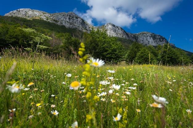 Piękna łąka z stokrotkami u podnóża wysokiej góry