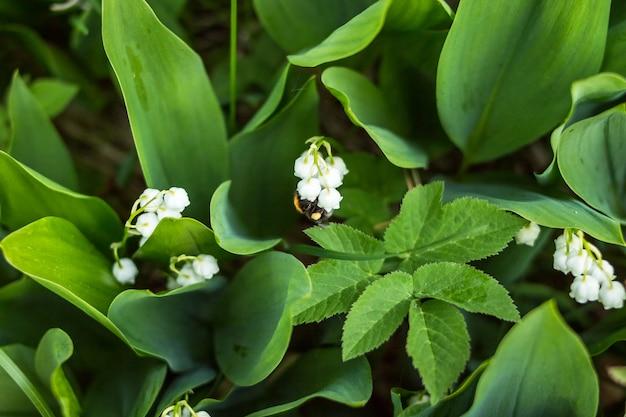 Piękna leluja dolina kwitnie z pszczołą w zielonym plamy bokeh natury tle