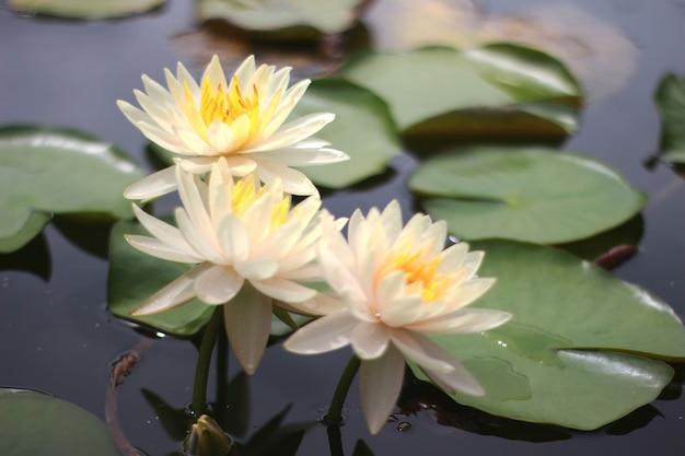 Piękna lilia wodna lub kwiat lotosu w stawie