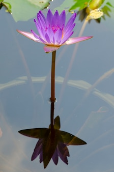 Piękna lilia wodna